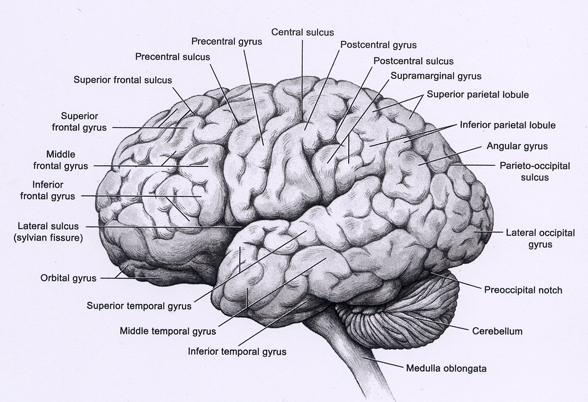 Gehirn-Atlas ::: Gehirn-Anatomie, Gehirn-Funktionen und ...